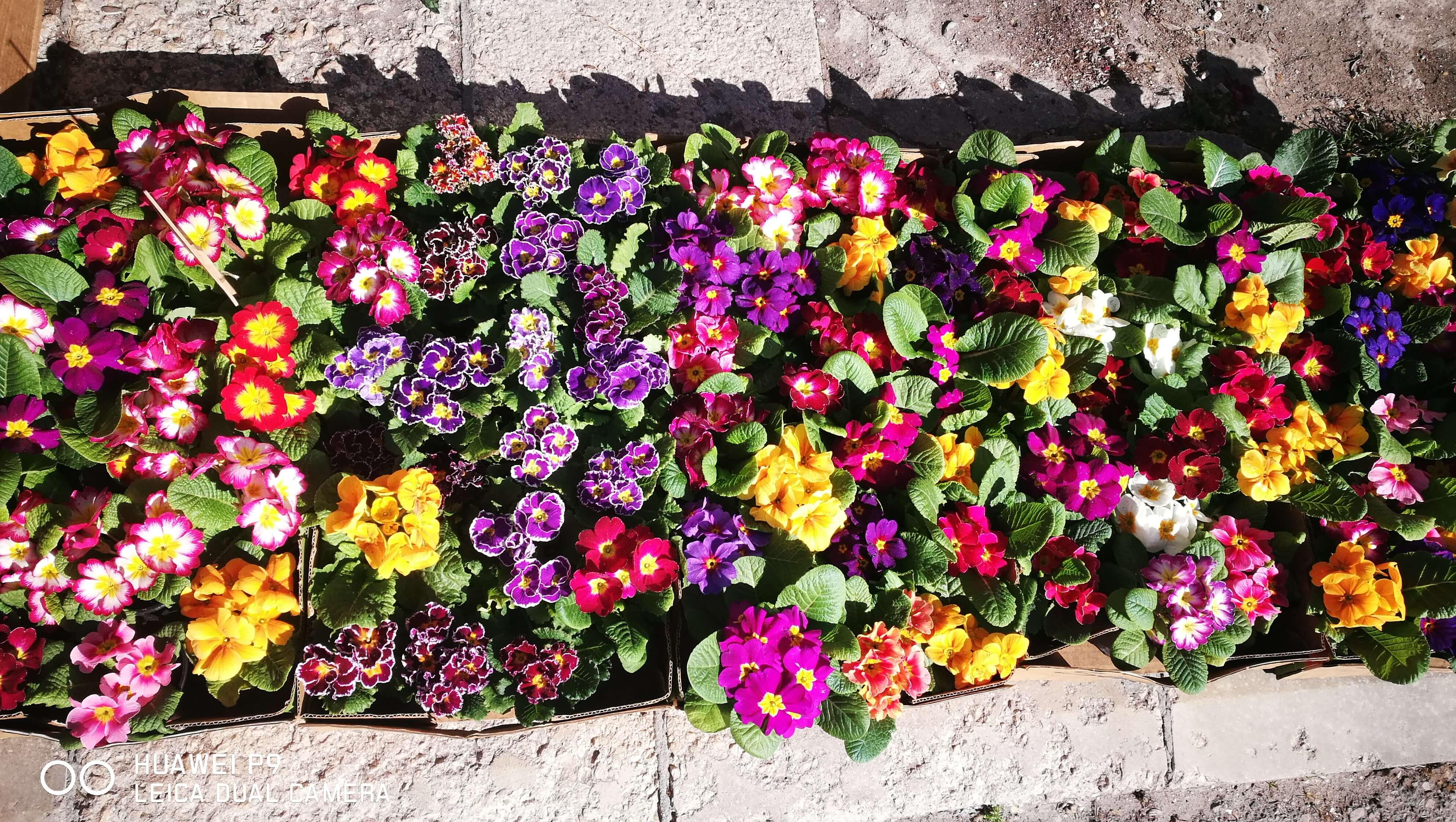 Сет от десет броя иглика - Цветя в саксия Butiklilia