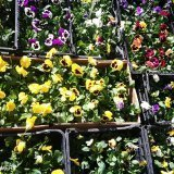 Сет от десет броя теменужки - Саксийни цветя Butiklilia