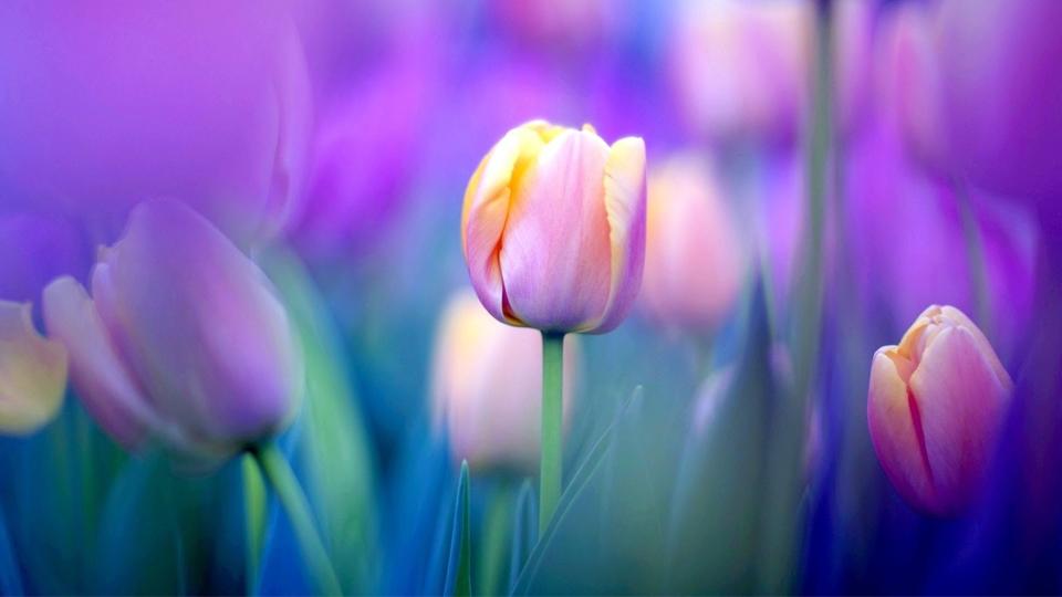 Три интересни факта за лалетата - Доставка на цветя Варна