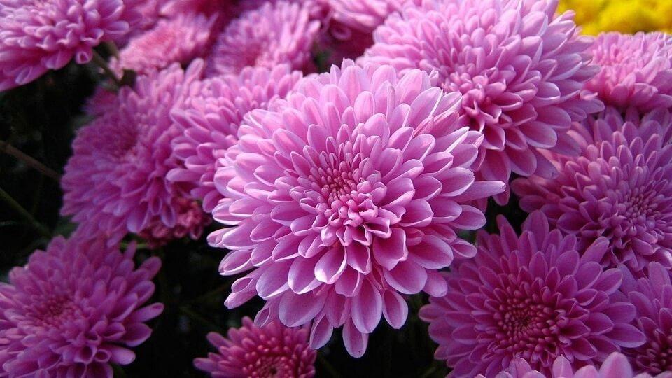 Източната кралица на цветята