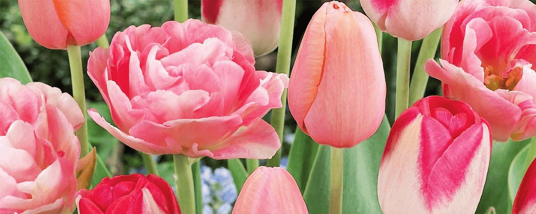 Лалета - с аромат на пролет