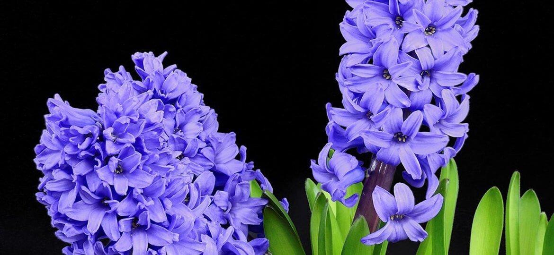 Цветето на завистта - букети от Зюмбюли