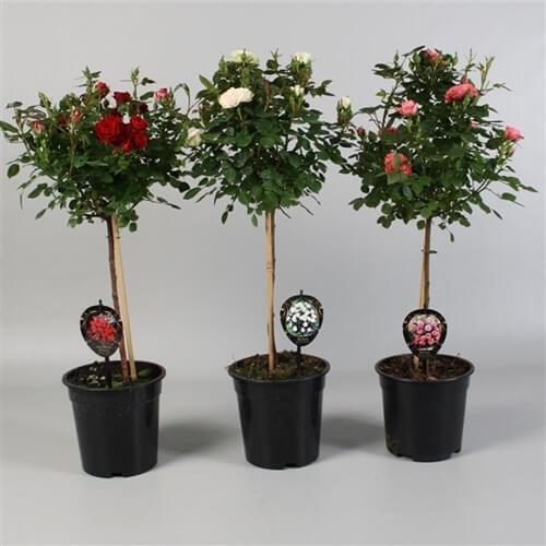 роза дръвче - букети Варна