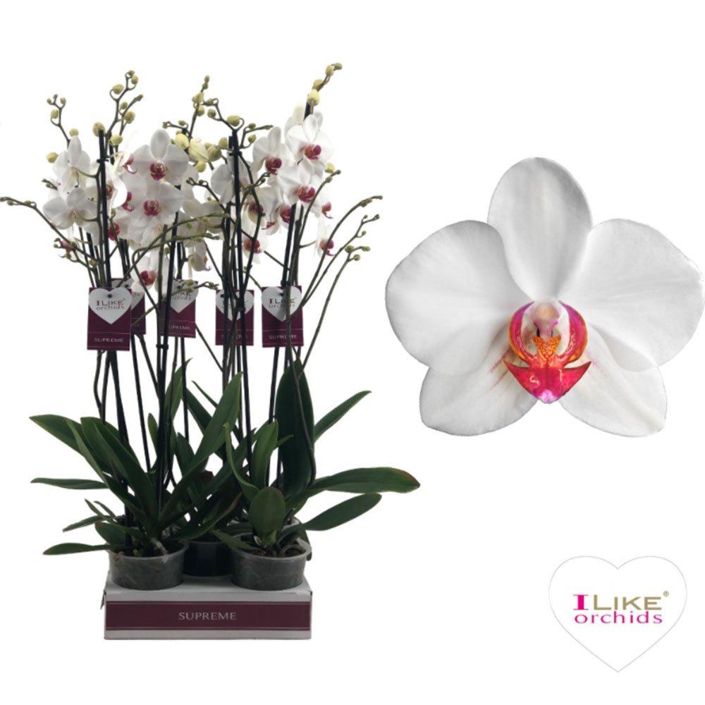 орхидя бяла