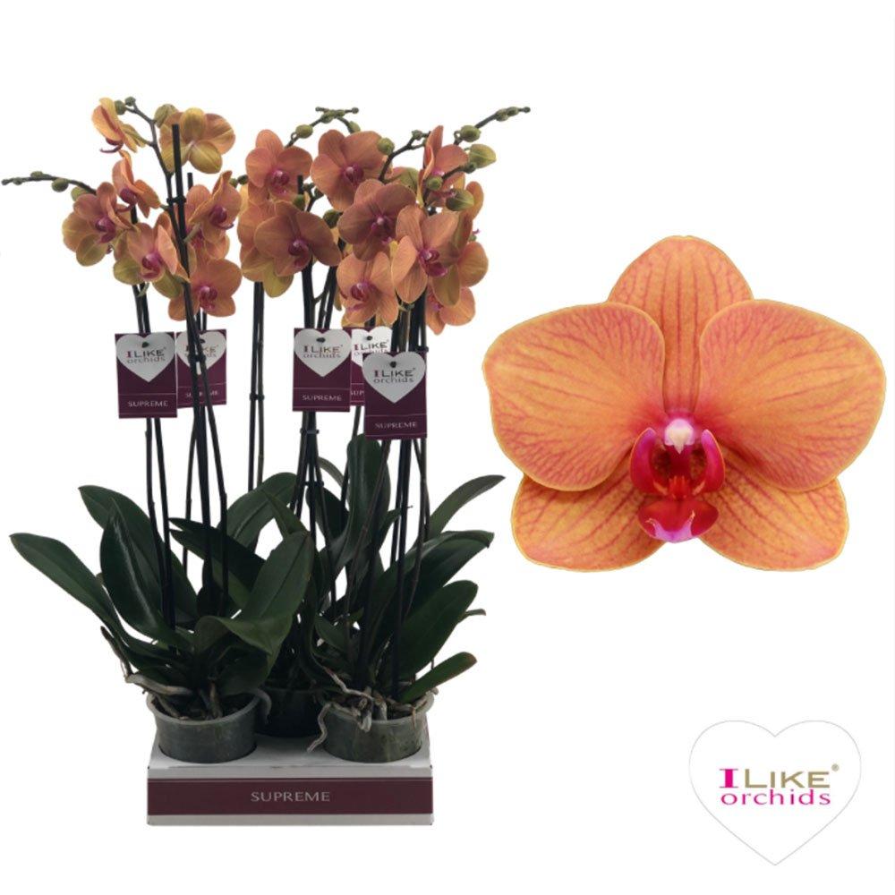 орхидя оранжева